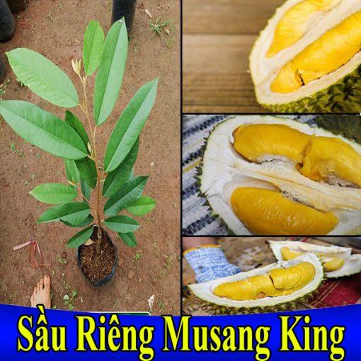 sau-rieng-musang-king-600x600