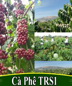 Cà phê XANH LÙN TS5 - Cung hạt giống và cây giống đầu dòng
