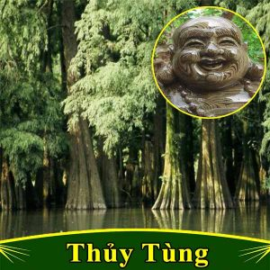 hinh anh cay thuy tung thong nuoc
